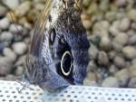 Farfalle 3
