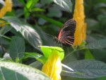 Farfalle 6