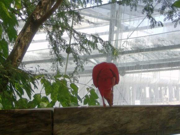 Ibis rosso 3