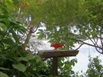 Ibis rosso 2