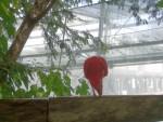 Ibis Escarlata 3
