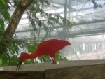 Ibis rosso 4