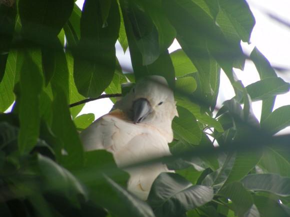 Papagayo 1