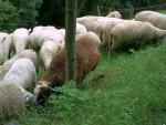 sheeps 4