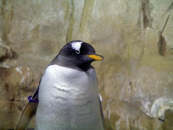 Pinguini 1