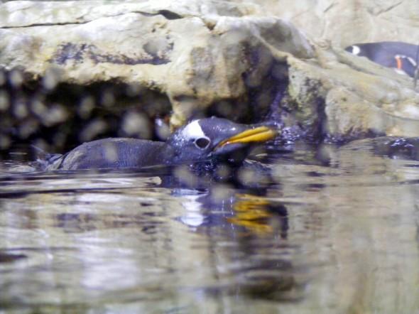Pinguini 5