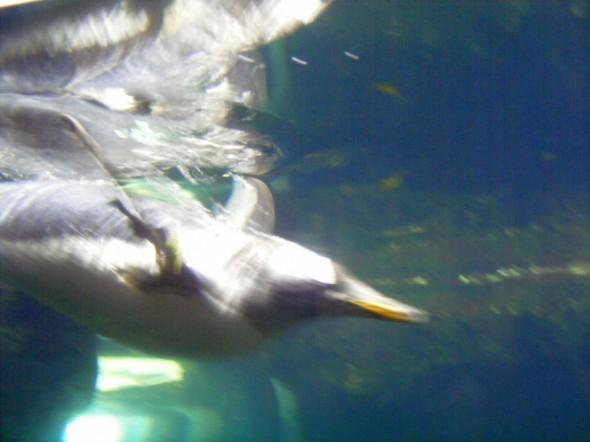 Pinguini 7