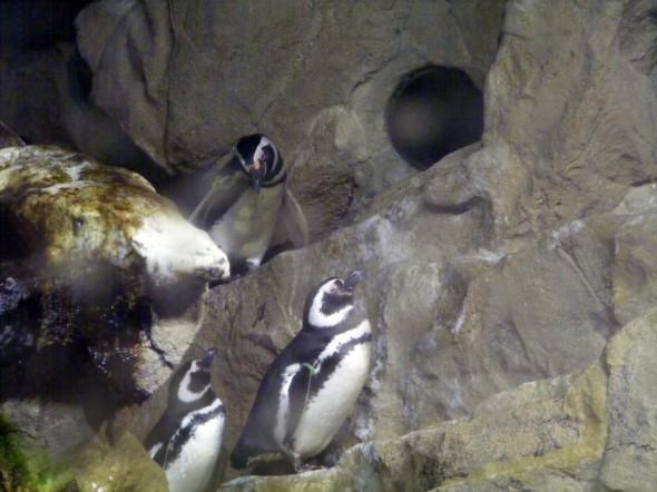 Pinguinos 8