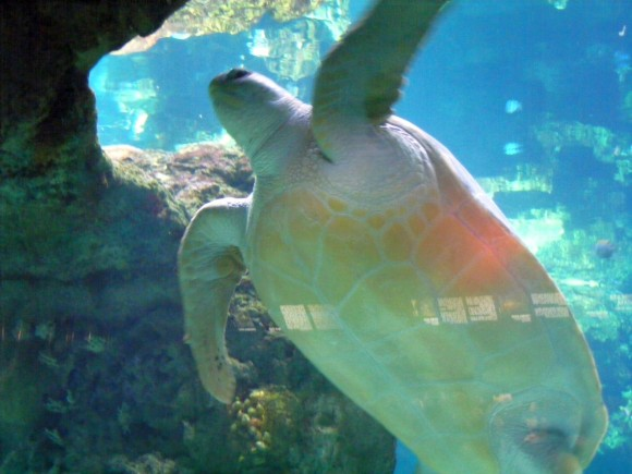 Tartaruga marina 1