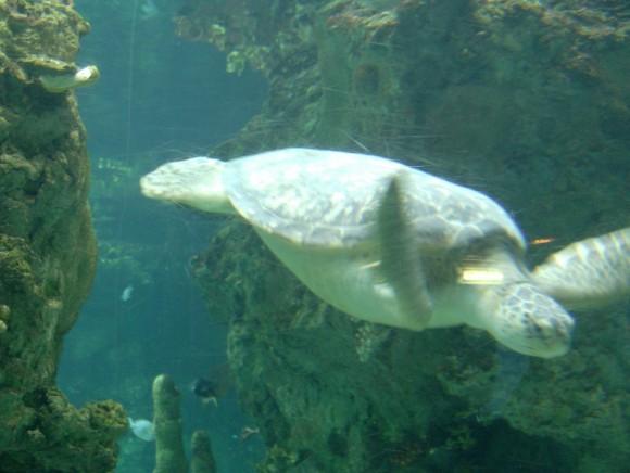 Tartaruga marina 13