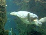 Sea turtle 13