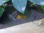 Tomato frog  2