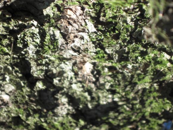 Corteccia di pino 03