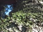 Corteccia di pino 04