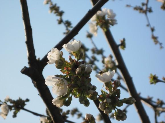 Fiori di albicocco 05