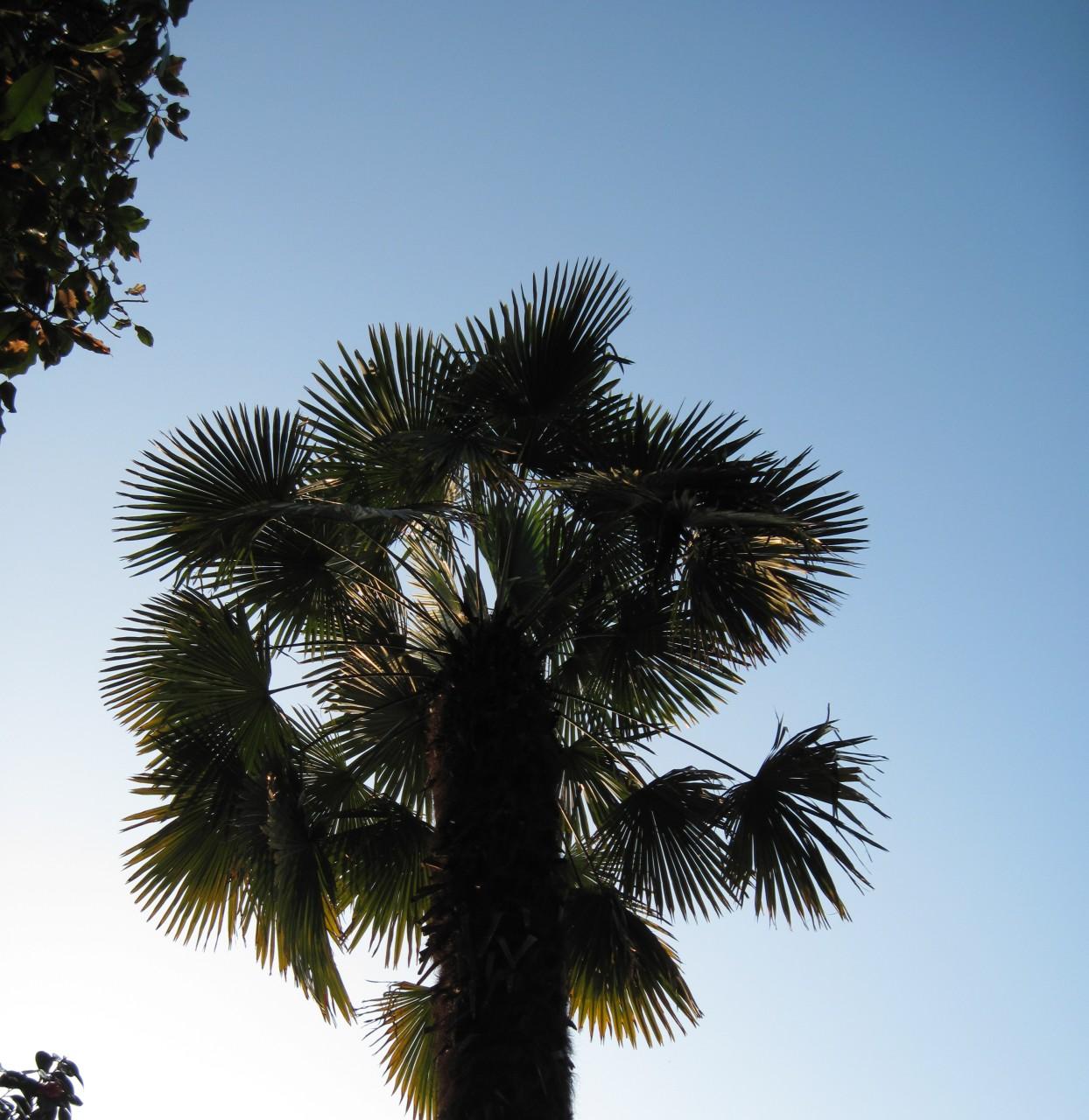 Piante Palme : Fotos piante palme