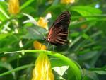 Farfalle 5