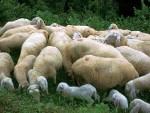 Pecore 2