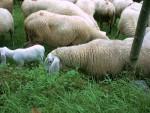 Pecore 3