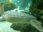 Sea turtle 15